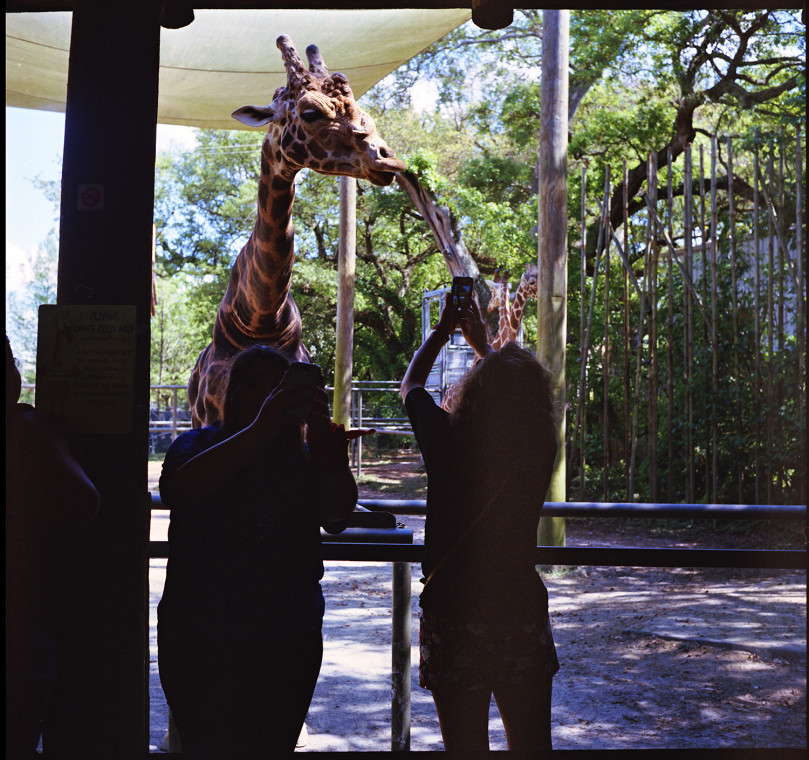 2_giraffe