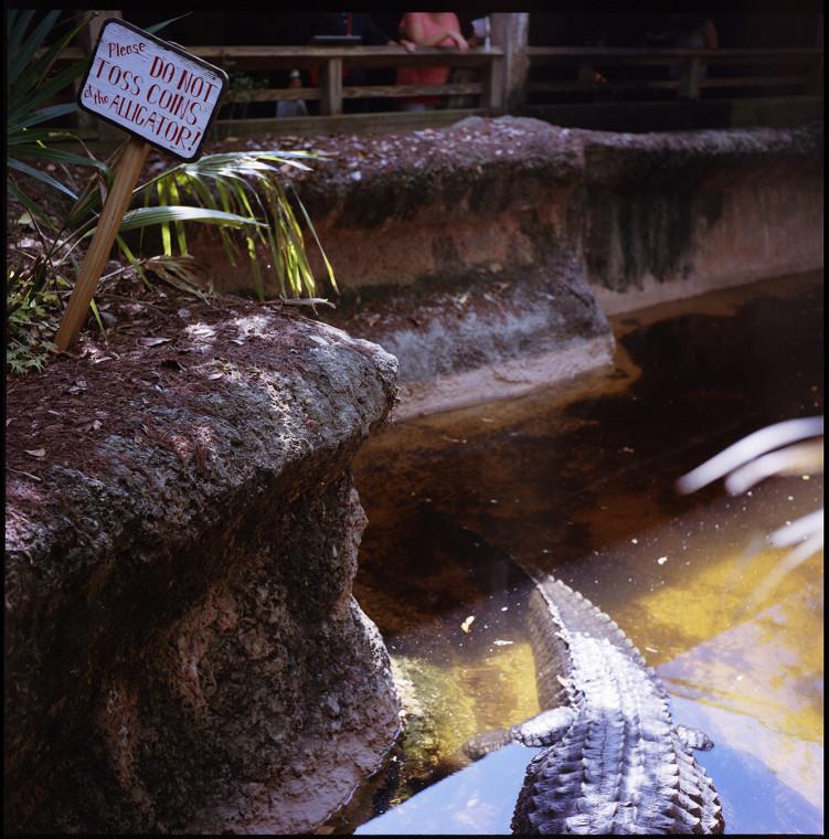 5_alligator